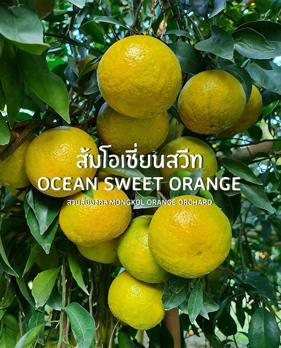 ส้มโอเชี่ยนสวีท ขายส่งยกลัง ฝาง เชียงใหม่ ออนไลน์