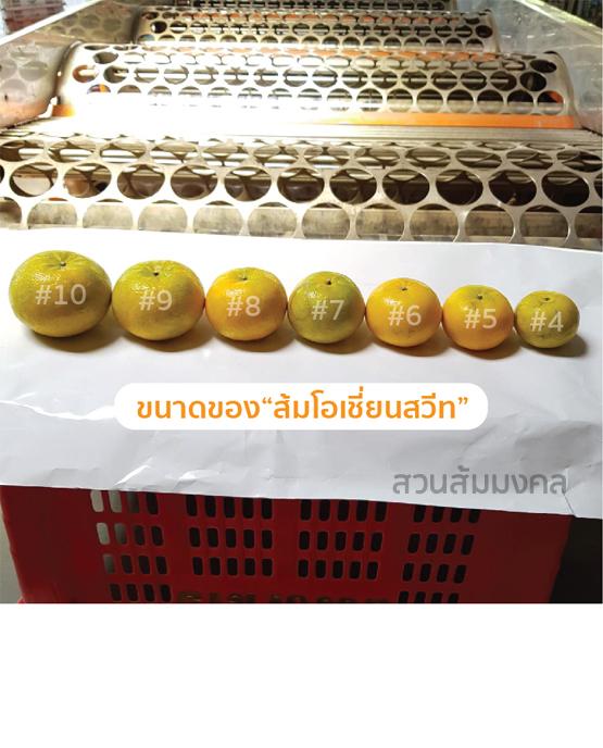 ส้มโอเชี่ยนสวีท ขายส่ง ฝาง เชียงใหม่ ออนไลน์ 5