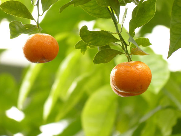 วิธีการเลือกซื้อผลไม้ จากฤดู